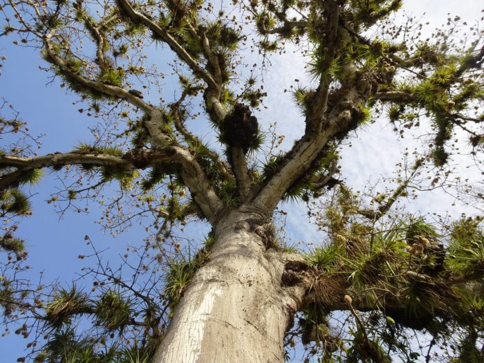Ceiba pentandra (L.) Gaertn. (bdtxa) par Thomas Delhotal