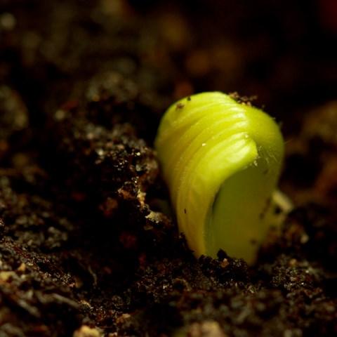Cucurbitaceae (bdtfx) par Charlotte ROIGT