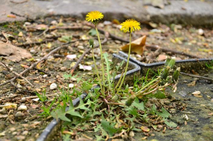Taraxacum officinale Weber (bdtfx) par Sauvages De MA RUE