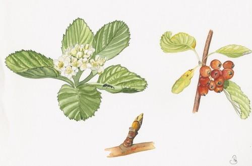 Alisier blanc