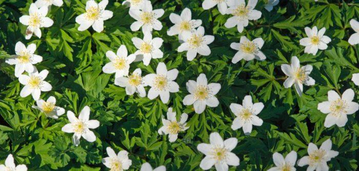 anemone-nemorosa-s-perera-cbnmc-aac2070