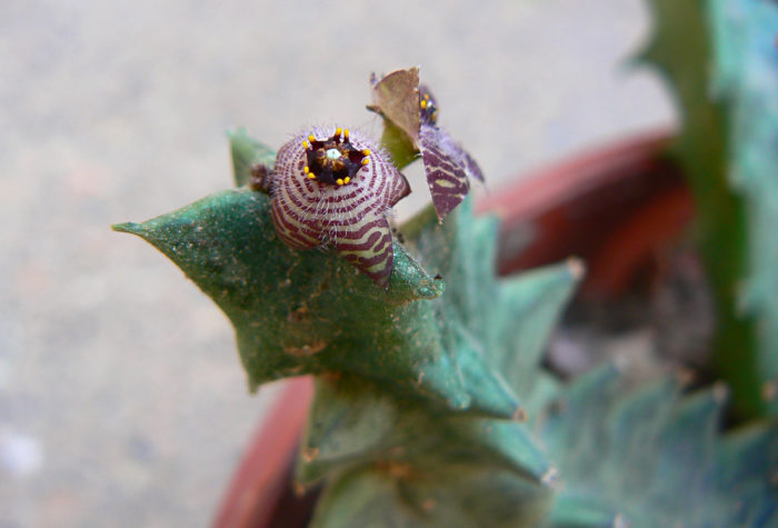 Photographie de Apteranthes europaea (sub Caralluma europaea)