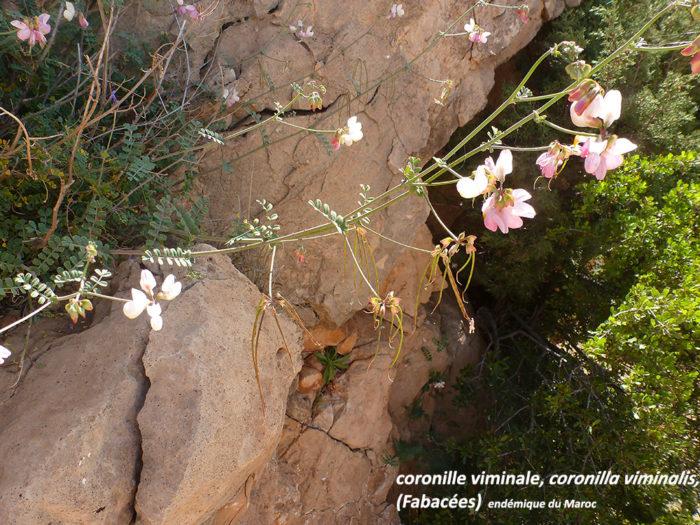 Coronille viminale, endémique du Maroc