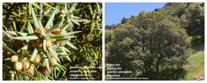 Genévrier oxycèdre et Chêne vert