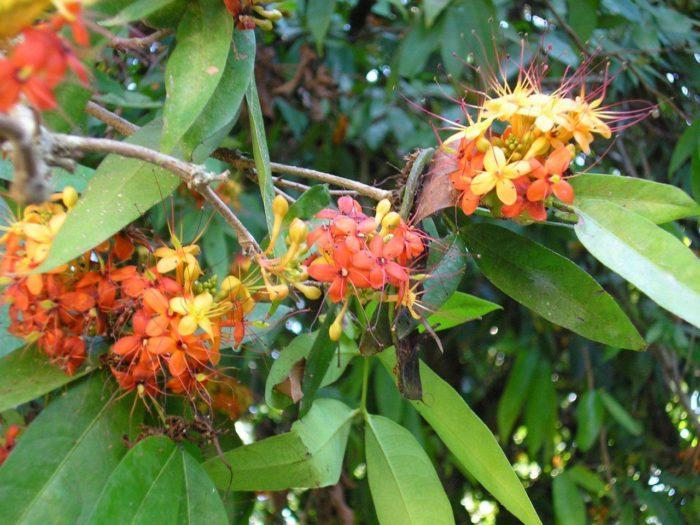 Fleurs de <i>Saraca indica</i>