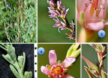 flore dauphine
