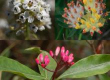Thlaspi caerulescens, Anthyllis vulneraria, Psychotria douarrei