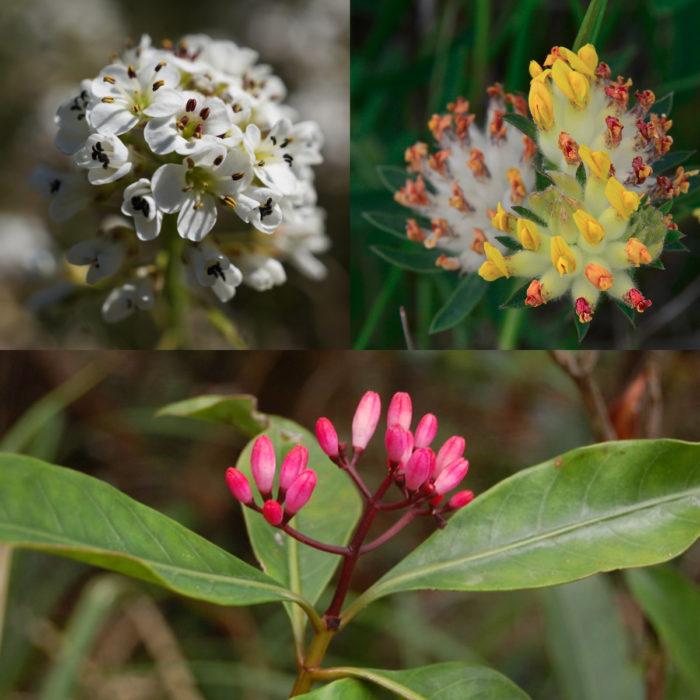 Thlaspi caerulescens, Anthyllis vulneraria, Psychotria douarrei, 3 espèces hyperaccumulatrices