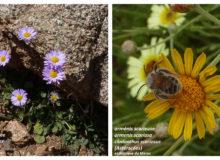Pâquerette bleutée et orménis scarieuse, endémiques du Maroc (CC BY - SA)