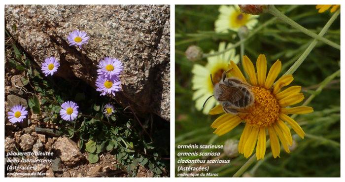 Pâquerette bleutée et orménis scarieuse, endémiques du Maroc (CC BY - SA) par Marie Coste - El Omari