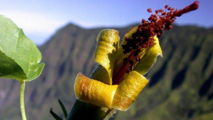 Hibiscadelphus woodii Ken Wood National Tropical Botanical Garden
