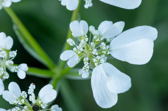 Orlaya grandiflora (L.) Hoffm. (bdtfx) par Jean-Jacques HOUDRÉ