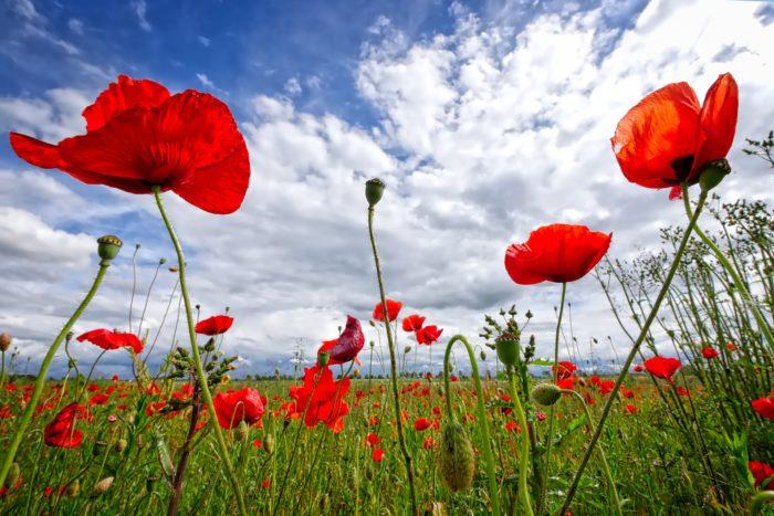 poppy-2989645_1920
