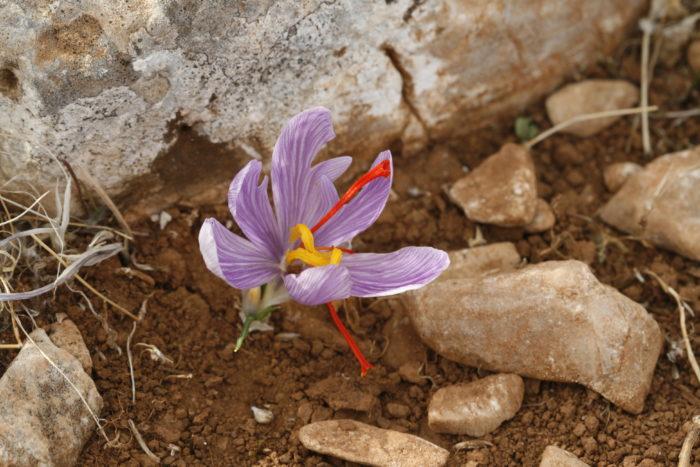 Crocus cartwrigtianus Herb. (Iridaceae) Kouvadas Attiki Grèce _MG_1748
