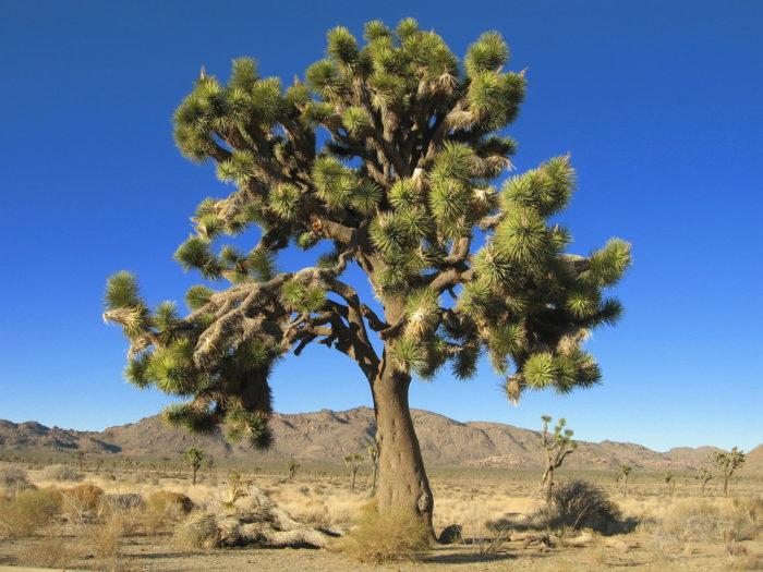 Yucca brevifolia - Desert Queen Valley