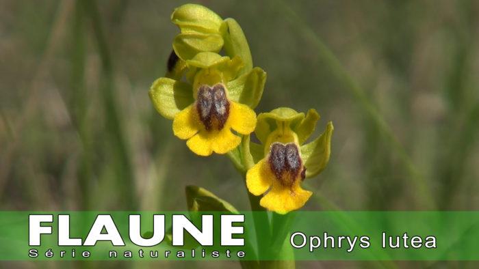 S1E001-Ophrys-lutea