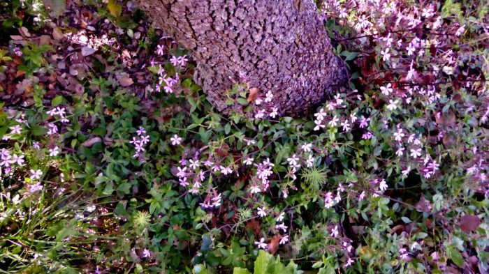 Saponaria ocymoides L. (bdtfx) par Anne Vincent