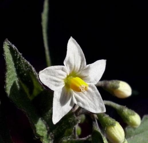 Solanum nigrum L. (bdtfx) par Emilie Bernard