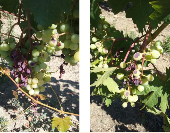 Dégâts sur la vigne