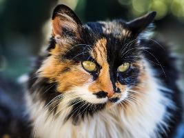 Felis silvestris catus