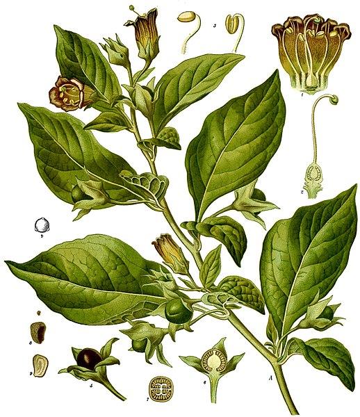 <i>Atropa belladonna</i>
