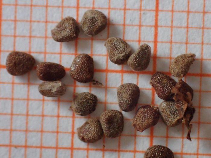 <i>Atropa belladonna</i> L.
