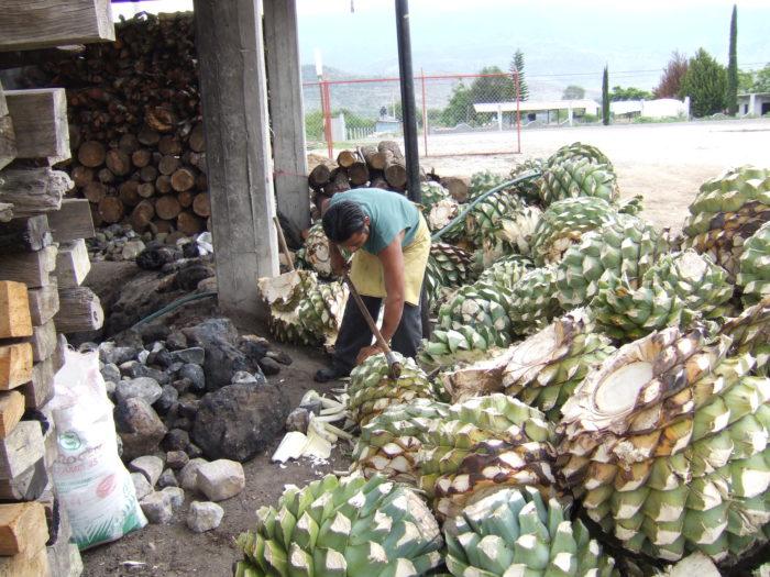 Coeurs d'agave pour la fabrication du mezcal