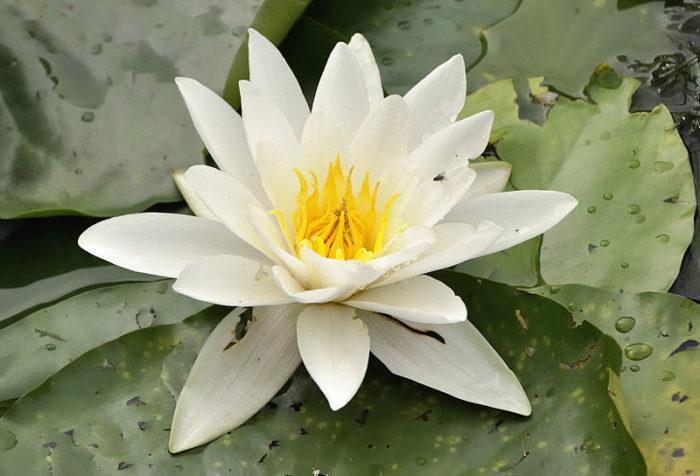 <i>Nymphea alba </i> L.