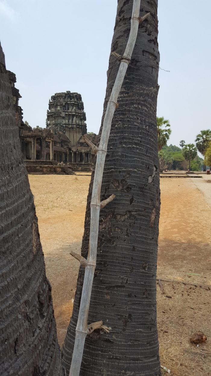 Échelle de bambou fixée au stipe d'une borasse, devant le temple d'Angor Vat
