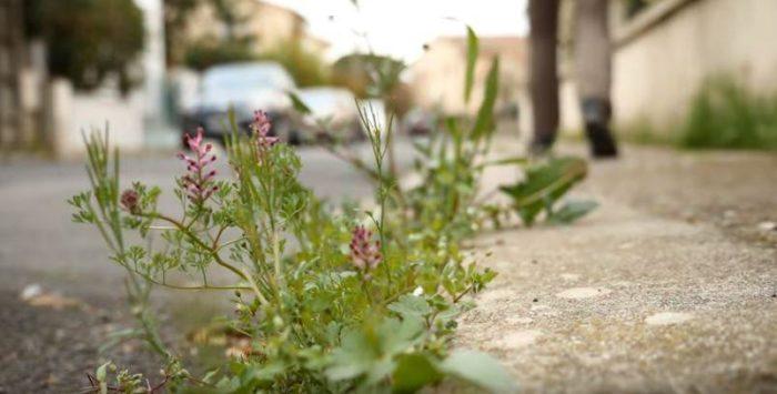 Fumaria-extraite-du-teaser-MOOC-Herbes-Folles-Licence-CC-BY-SA