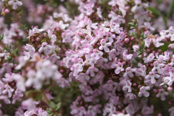 <i> Thymus vulgaris L. </i>