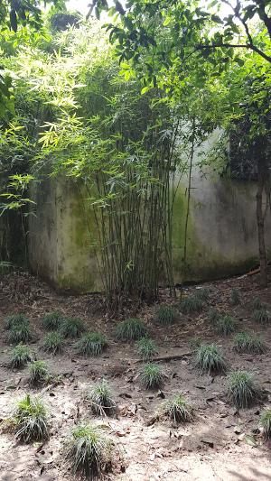 Touffe de bambous dans le Jardin des Arts, Suzhou