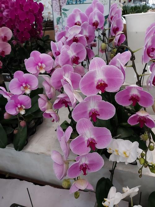 Orchidées papillons (Phaelenopsis) sur un marché aux fleurs à Pékin