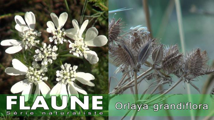 S1E07-Orlaya-grandiflora