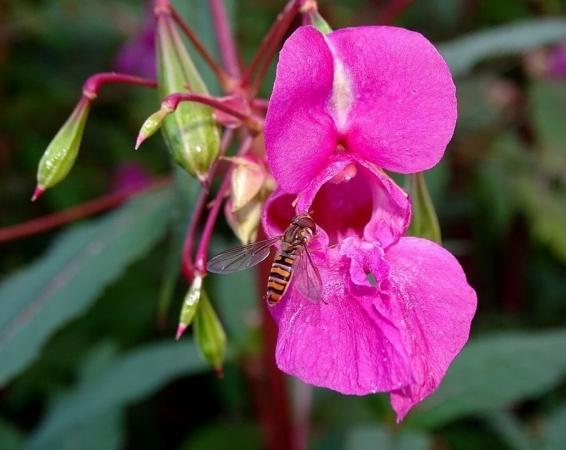 plantes-invasives
