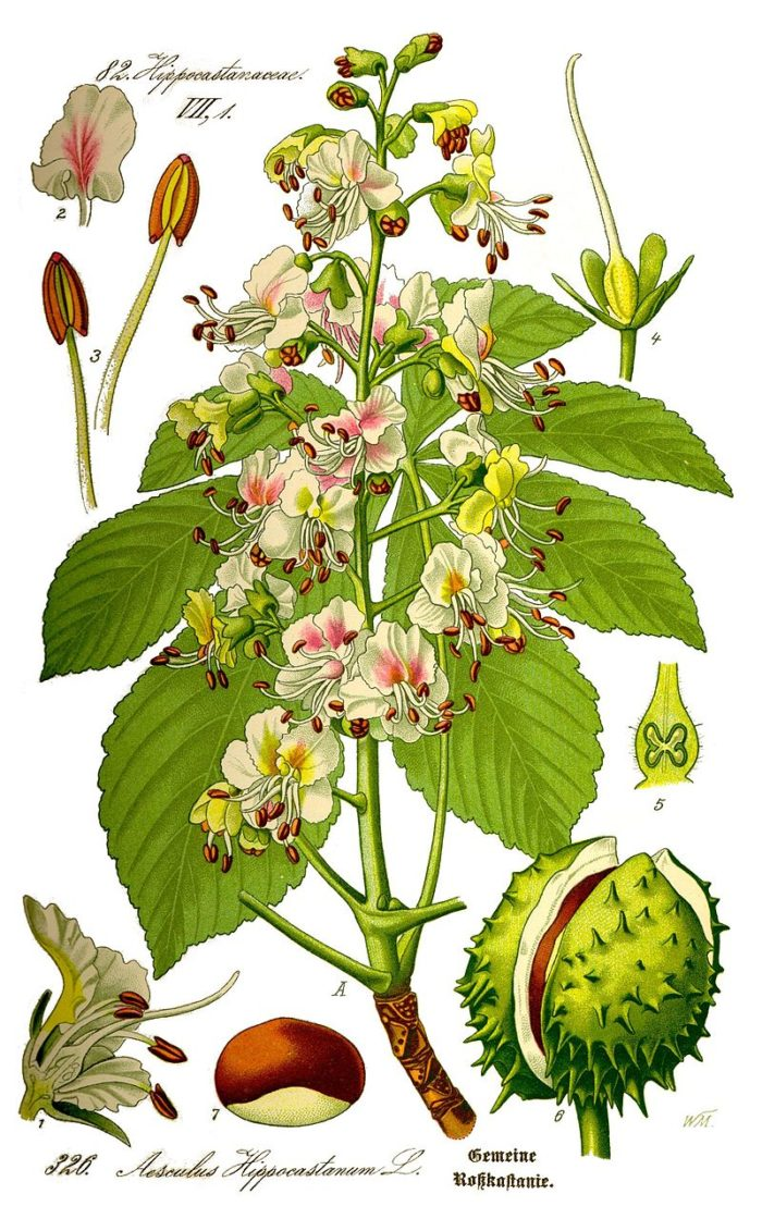 800px-Illustration_Aesculus_hippocastanum0_clean
