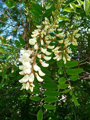 Rispe_weißer_Blüten