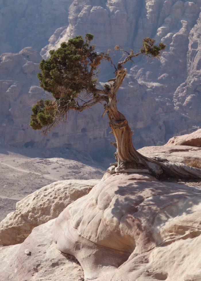 <i>Juniperus phoenicea </i>L.
