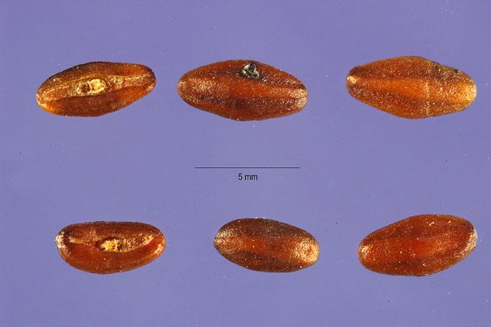 Plantago arenaria plps_001_lhp
