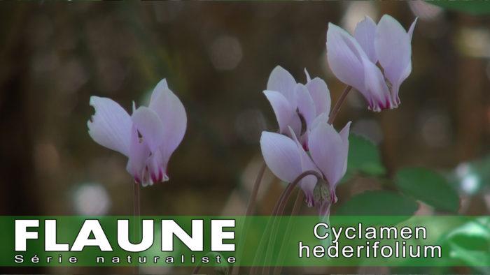 S1E09-Cyclamen hederifolium