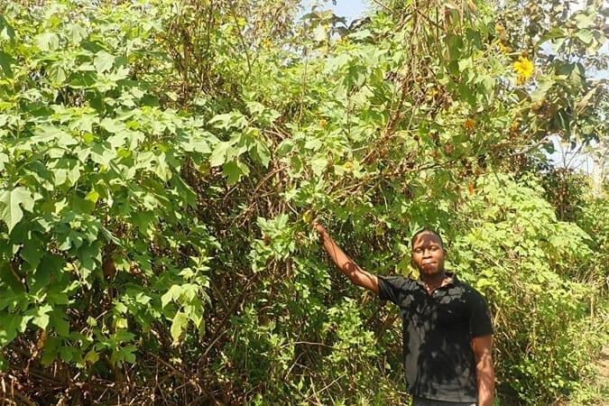 Productif et pouvant atteindre trois mètres : le Tournesol mexicain (Tithonia diversifolia) ©<br />Olivier Lavaud - DEFI-Écologique