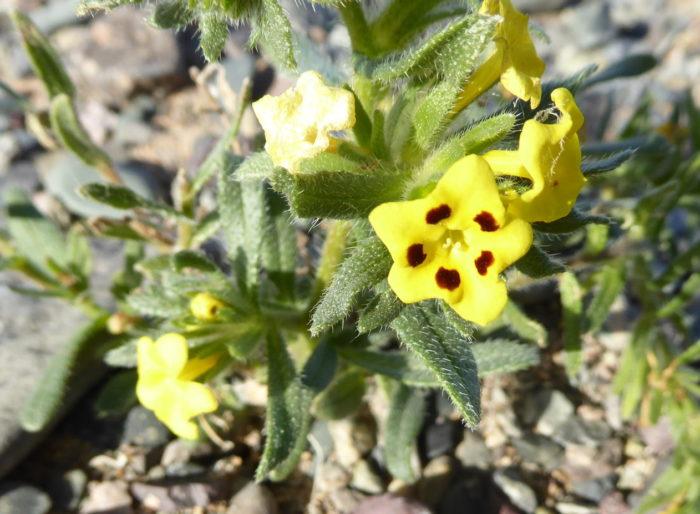 Arnebia guttata (1)