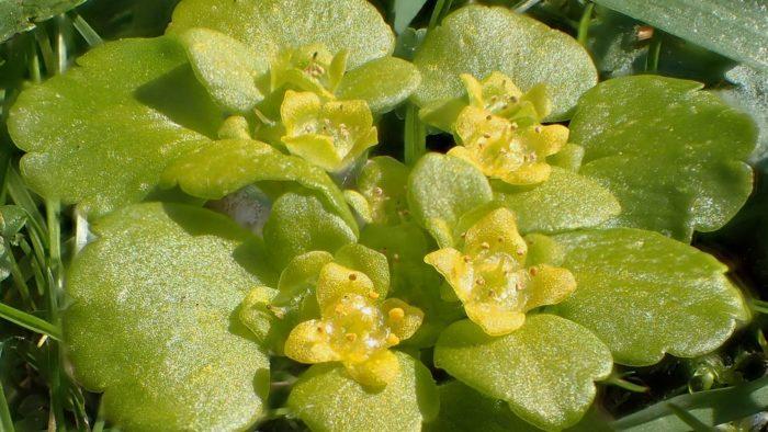 Dorine à feuilles opposées Chrysosplenium oppositifolium