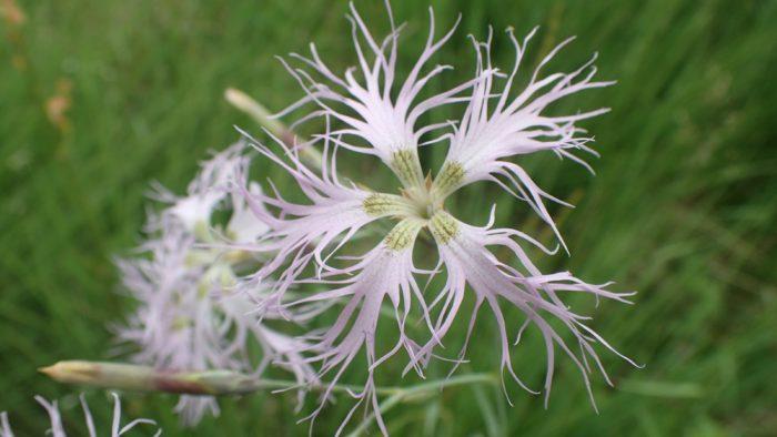 Œillet superbe Dianthus superbus