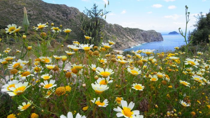 GRECE KARPATHOS Chrysanthemum coronarium (Asteraceae) R0012021 -