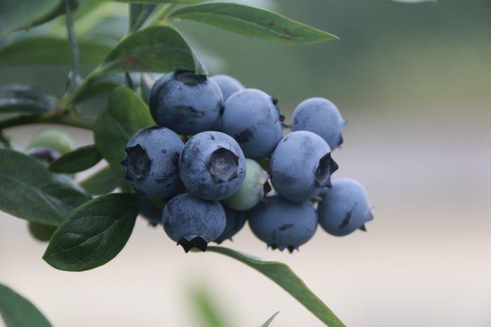 blue-berries-4352159_1920