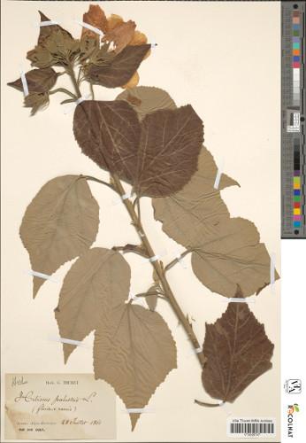 Spécimen d'Hibiscus de l'herbier de la villa Thuret