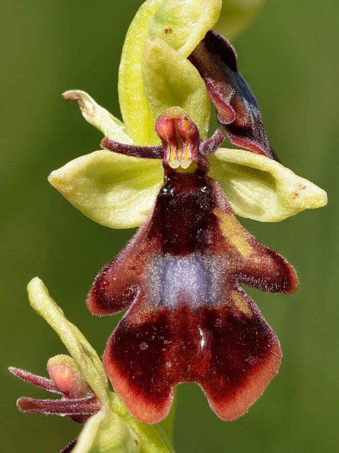 <i>Ophrys insectifera</i>