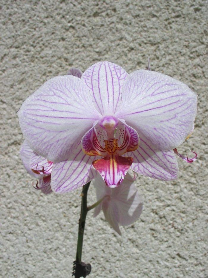 <i>Phalaenopsis</i>