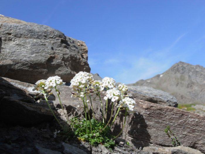 ALPES SAVOIE HAUTE MARIENNE Pritzelago alpina (L.) Kuntze subsp. alpina = Hutchinsia alpina R0145925